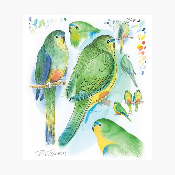 Orange-bellied Parrot Photographic Print