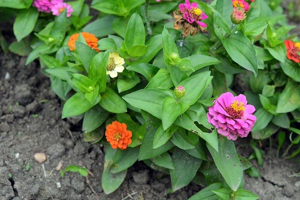 Colorful pink and orange flowers in green leaves bush in the garden. by oanaunciuleanu