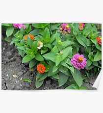 Colorful pink and orange flowers in green leaves bush in the garden. Poster