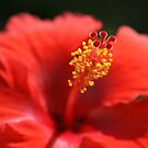 RED HIBISCUS by Lee d'Entremont