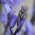 Bluebell Delight by aussiedi