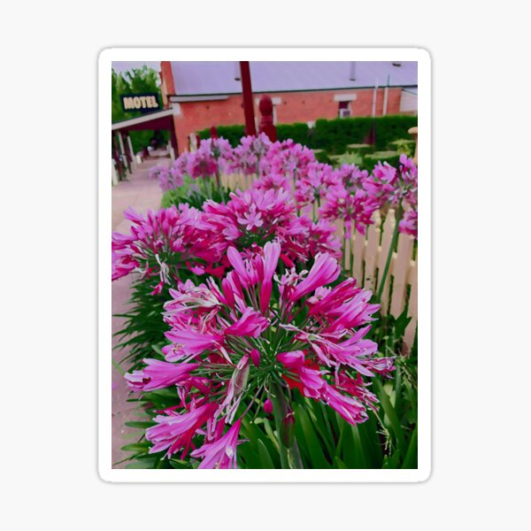 Agapanthus - One Sticker