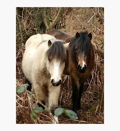 National Trust Ponies Photographic Print