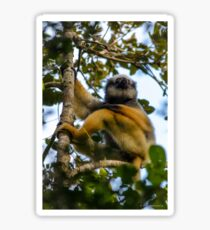 A diademed sifaka-Lemur Sticker