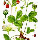 alpine strawberry by Alex Magnus