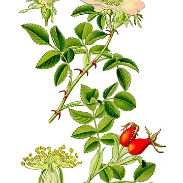 rosehip by jackwhite87