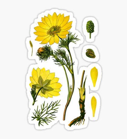 spring adonis Sticker