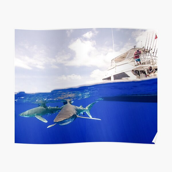 Oceanic White Tip Sharks Circle a Boat Poster