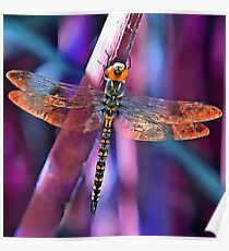 Dragonfly In Orange and Blue Poster