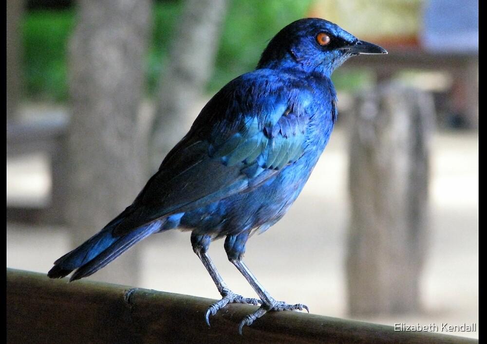 Blue Starling by Elizabeth Kendall
