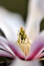 The Star of the Star Magnolia by Tiffany Dryburgh