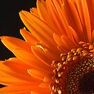 Sunburst Daisy by Liz Grandmaison