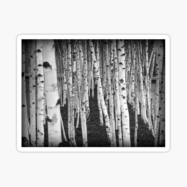 Silver Birch Trees Sticker