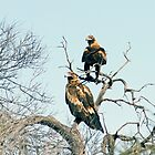 Wedge Tailed Eagles by mncphotography