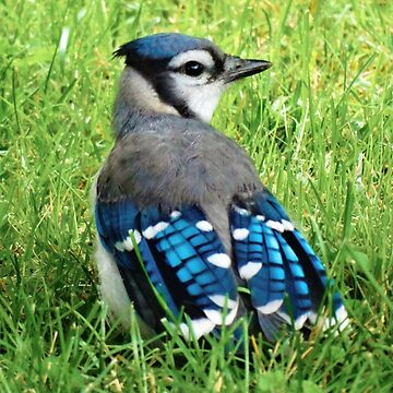 Blue Jay in the Grass by captured-moment