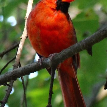 The Northern Cardinal by captured-moment