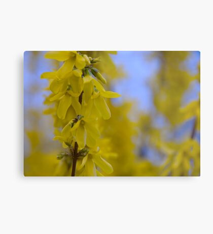 Yellow flowers near the Talvera River, Bolzano/Bozen, Italy Metal Print