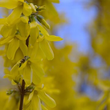 Yellow flowers near the Talvera River, Bolzano/Bozen, Italy by leemcintyre