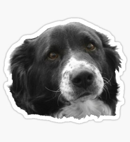 Border Collie and the Equal Time Message Sticker