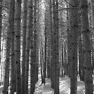 Pine Tree Pathway - Black & White by jenndes