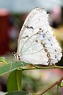 White Morpho II by PhotosByHealy