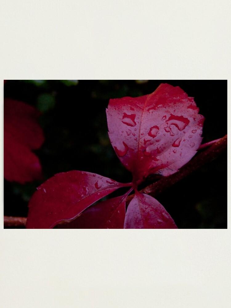 Alternate view of Red Leaf Raindrops, Bolzano/Bozen, Italy Photographic Print