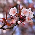 Cherry Blossoms by taiche