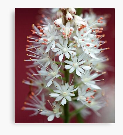 Tiarella - By The Red Barn Door Canvas Print