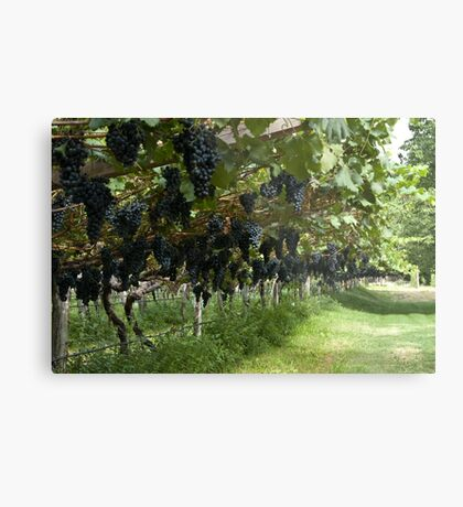 Grapes in the Castle Mareccio Vineyard, Bolzano/Bozen, Italy Metal Print