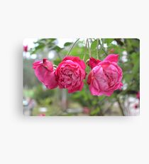 3 Knockout Roses Canvas Print