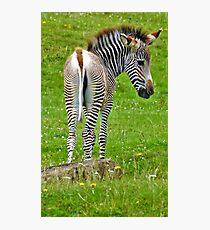 Baby Zebra Fotodruck