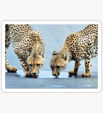 WHEN THIRST TAKES OVER - CHEETAH – Acinonyx jabatus – Die Jagluiperd Sticker