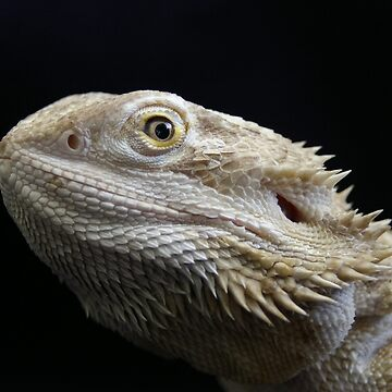 Bearded Dragon by MickThow