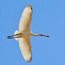 Spoonbill Stork - Flying High - African Wild Birds by LivingWild