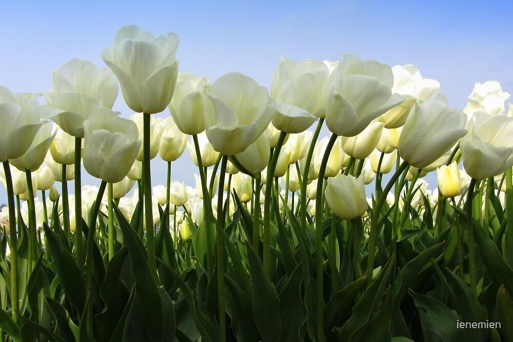 Between the Tulips by ienemien
