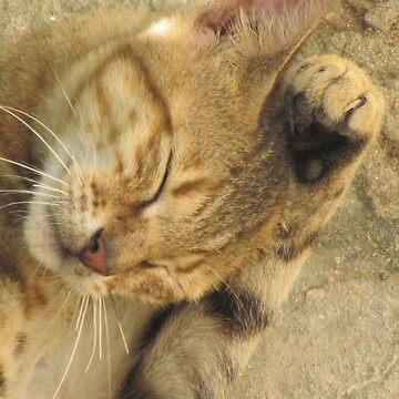Somali cat, Somalia by martina