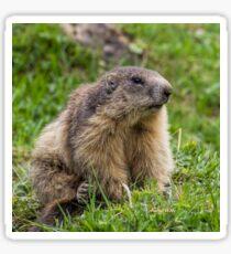 Marmotte 3-4 face_8288 Sticker