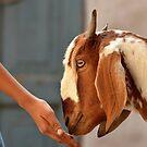 Portrait of Goat by Ikramul Fasih