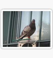 Picture of a Pigeon 1 Sticker