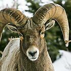 Ram's Stare by Ken McElroy