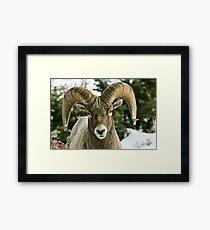 Ram's Stare Framed Print