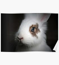 Dwarf Rabbit Poster