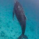Humpback whale, Lady Elliot Island by Kara Murphy