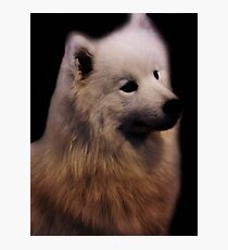 Samoyed Portrait Photographic Print