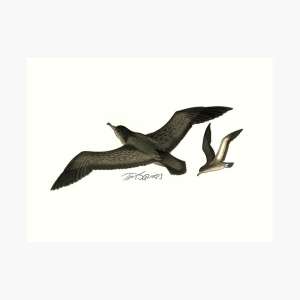 Short-tailed Shearwater Art Print