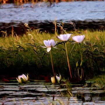 Water Lilies - Emu Park by katetren