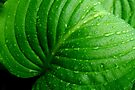 Hosta Leaf by Laurie Minor