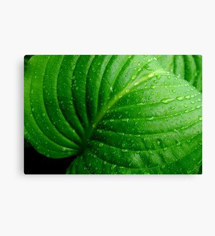 Hosta Leaf Canvas Print