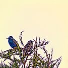 A Starling Couple by Vicki Field