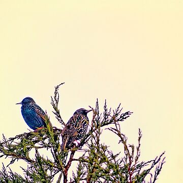 A Starling Couple by InspiraImage